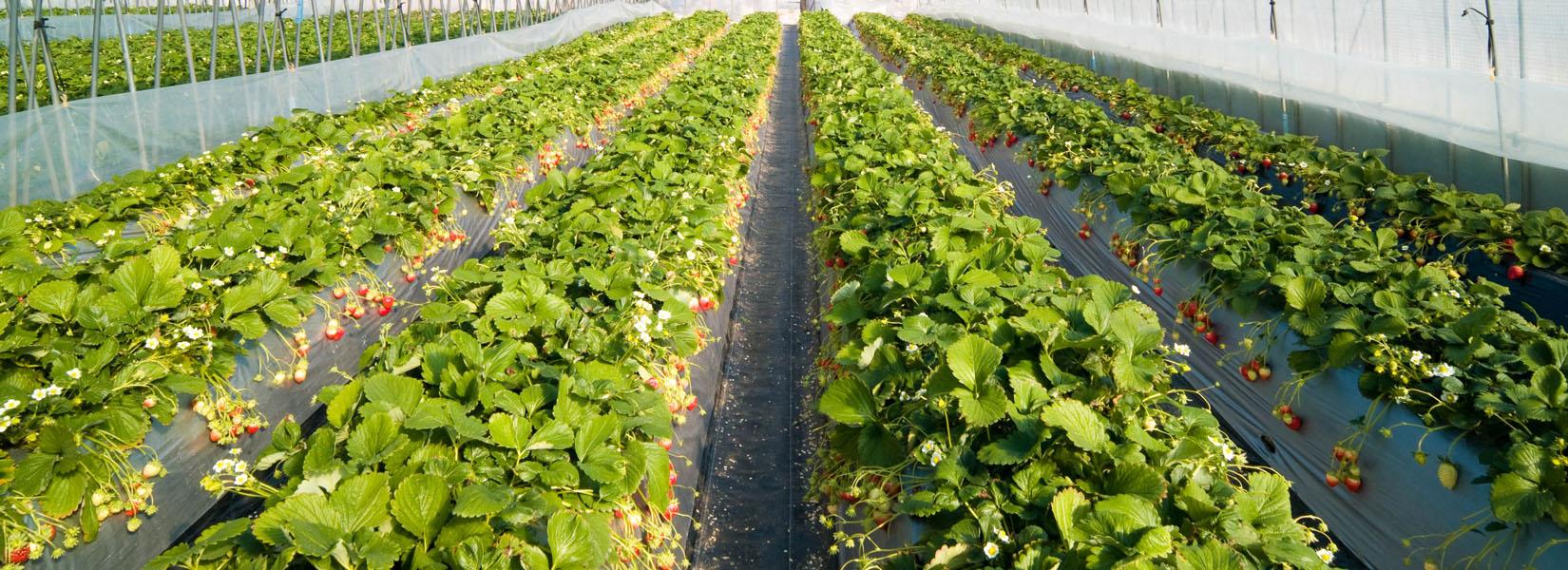 Теплицы: овощеводство и цветоводство, гидропоника и 63